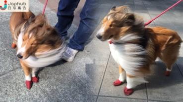 #寵物奇觀 20m/s強風下的牧羊犬 頭髮完全亂了