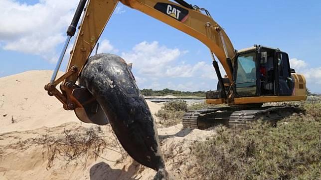 Petugas menggunakan alat berat memindahkan seekor paus jenis pilot yang mati akibat terdampar untuk dikubur di pesisir pantai desa Manie, Kabupaten Sabu Raijua, NTT, Jumat (11/10). [ANTARA FOTO/HUMAS BKKPN KUPANG]