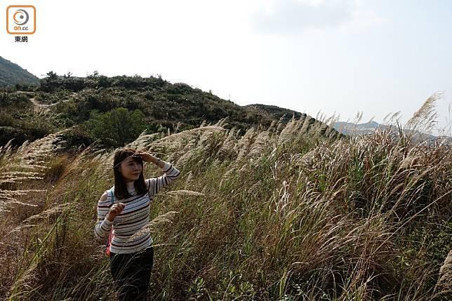 很多人喜歡倚着芒草來拍攝唯美的照片。(方偉堅攝)