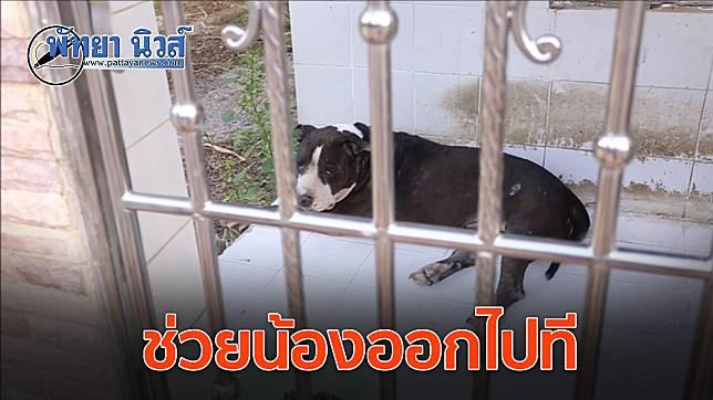 วอนช่วยหมาพิทบูล ถูกขังไว้ในบ้านนานกว่า 5 ปี หลังเจ้าของเสียชีวิต