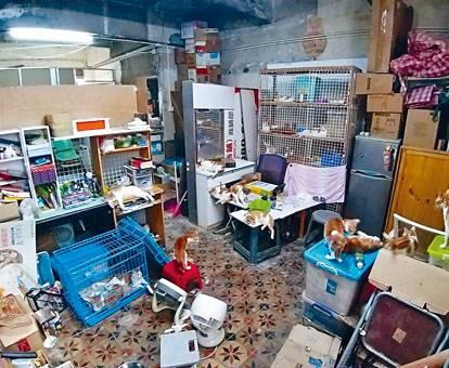 單位租客收養了八十隻貓,貓咪「通屋走」。