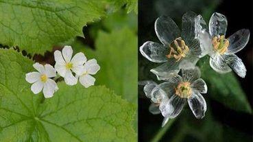 遇水變水晶的純白小花
