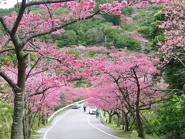 標高453米的八重岳山麓,沿路而上是一片染成粉紅色的琉球寒緋櫻。(互聯網)