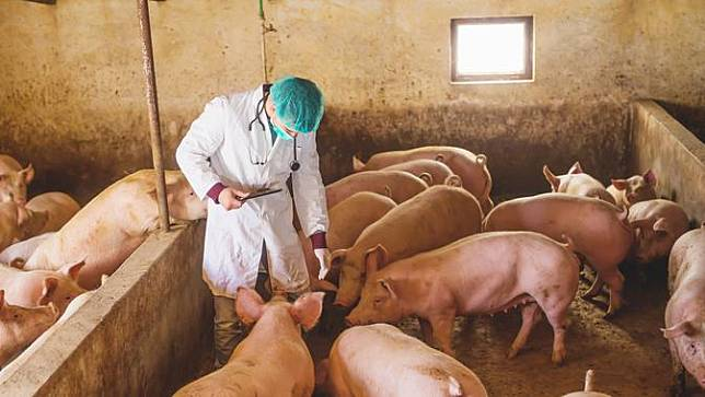 Ilustrasi flu babi
