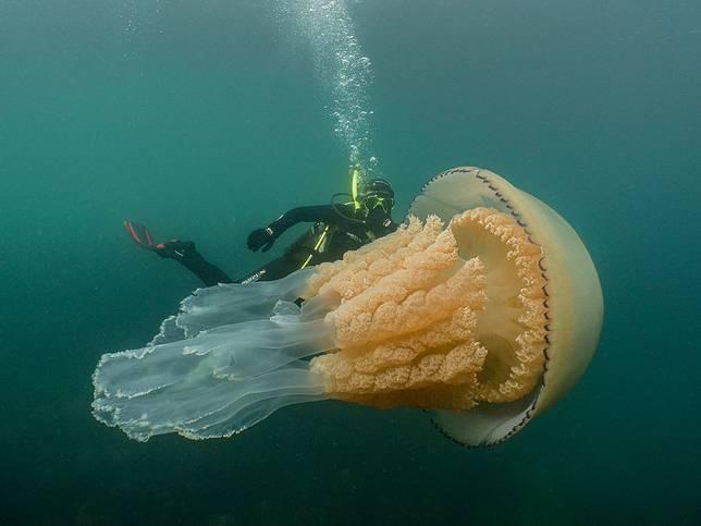 Lizzie Daly saat berenang bersama ubur-ubur raksasa di lepas pantai Inggris.