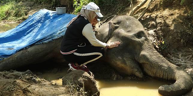 Sepeninggal Neneng, Gajah Siti Akan Tetap Jadi Gajah Tunggangan
