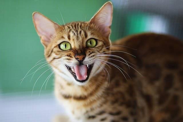 Unduh 87+  Gambar Kucing Lucu Melet Paling Keren HD
