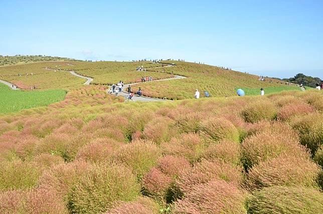 至9月天氣漸涼,掃帚草長成淡紅色。(互聯網)