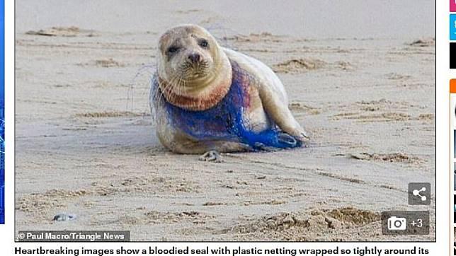 人類隨手丟棄的魚網造成海豹嚴重受傷。圖/翻攝自每日郵報