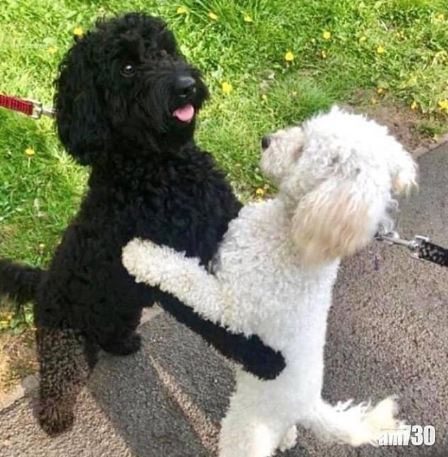 【感動重逢】兩貴婦狗遇上即相擁  主人驚揭是同胎姊妹