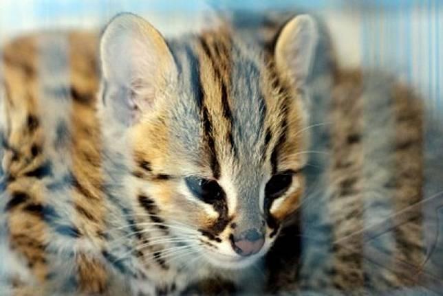 Kucing Hutan Temuan Warga Dikirim ke BKSDA Jatim