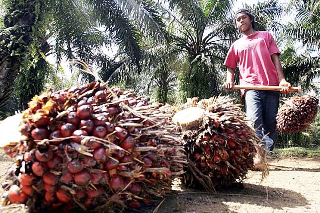 Harvest time: A worker gathers oil palm fruit bunches at a plantation in Lampung.
