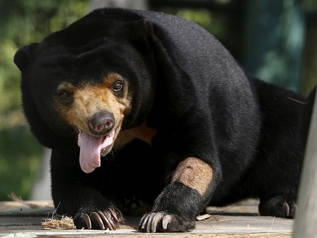 A sun bear pants inside a semi-natural enclosure at a bear rescue center in Tam Dao national park, north of Hanoi, Vietnam, on July 22.