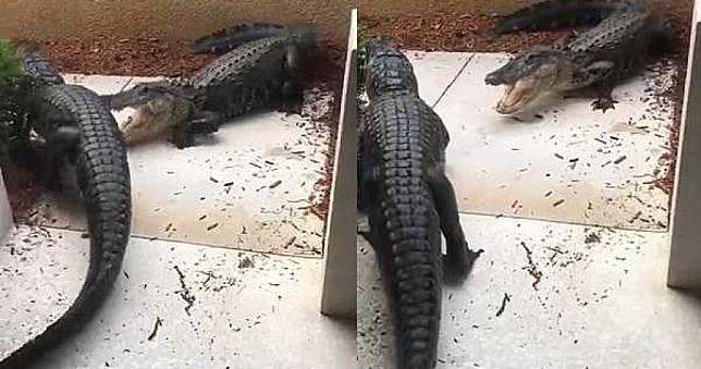 「鱷客」闖民宅!凌晨闖入住家想吃海龜裝飾 跑到住家門口互咬