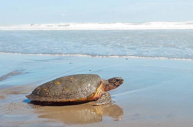 半年擱淺上百件 6成海龜枉死