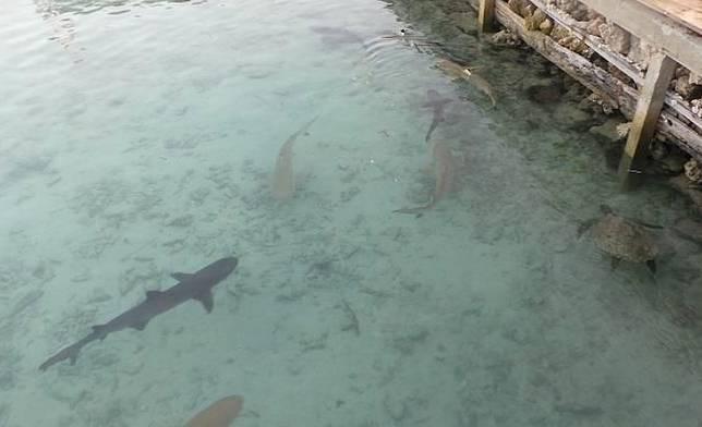 Anakan hiu di kolam penangkaran di Pulau Menjangan Besar, Karimun Jawa.