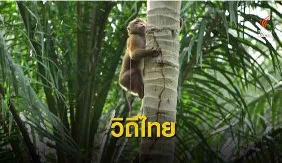ดราม่า?  ข้ออ้างลิงเก็บมะพร้าวแบนสินค้าไทย