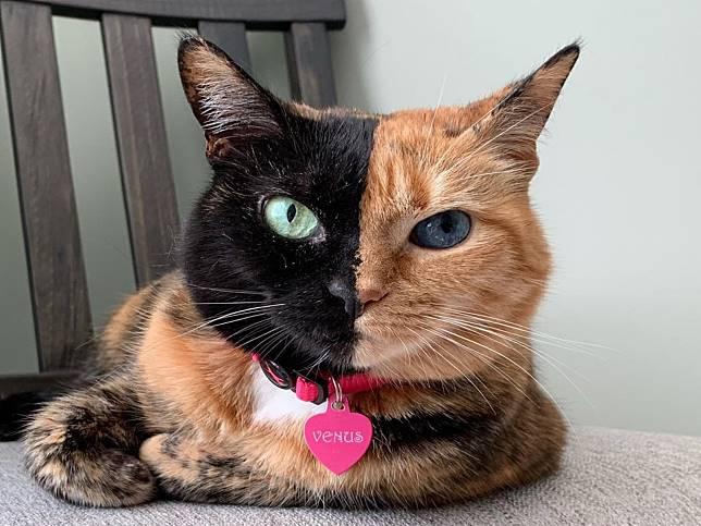 貓版黑黃郎君擁有異色瞳加雙色臉 網:印到一半沒墨水?