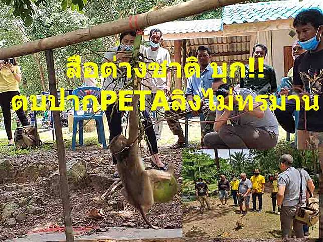 สื่อต่างชาติบุก!!ตบปากPETAลิงขึ้นมะพร้าวไม่ทรมาน