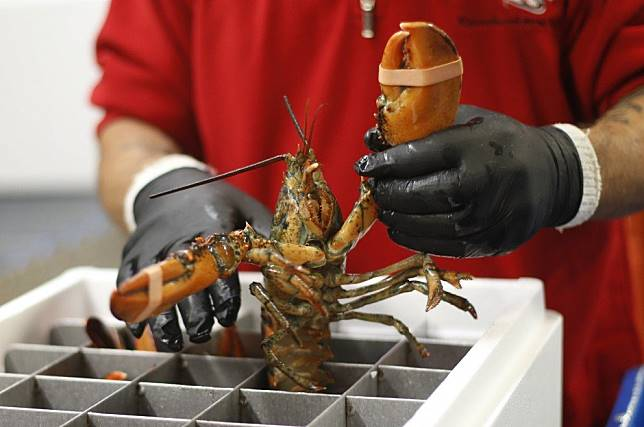 Coronavirus saps China's demand for rock lobster, hitting exporters in Australia, Canada and New Zealand