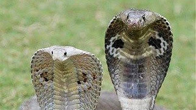 Ular kobra perempuan dan laki-laki