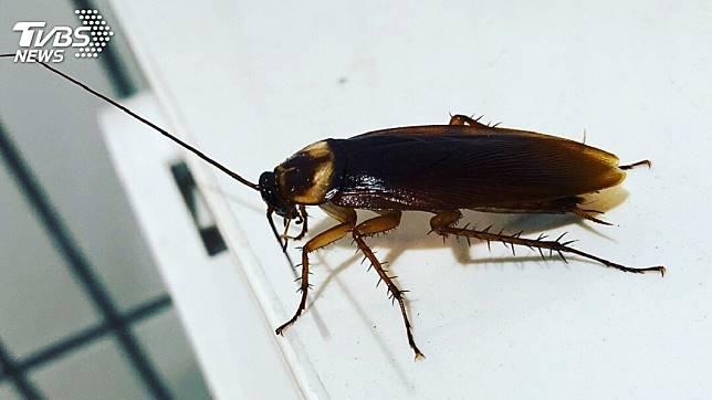 不少人很害怕看到蟑螂出現。(示意圖/TVBS)