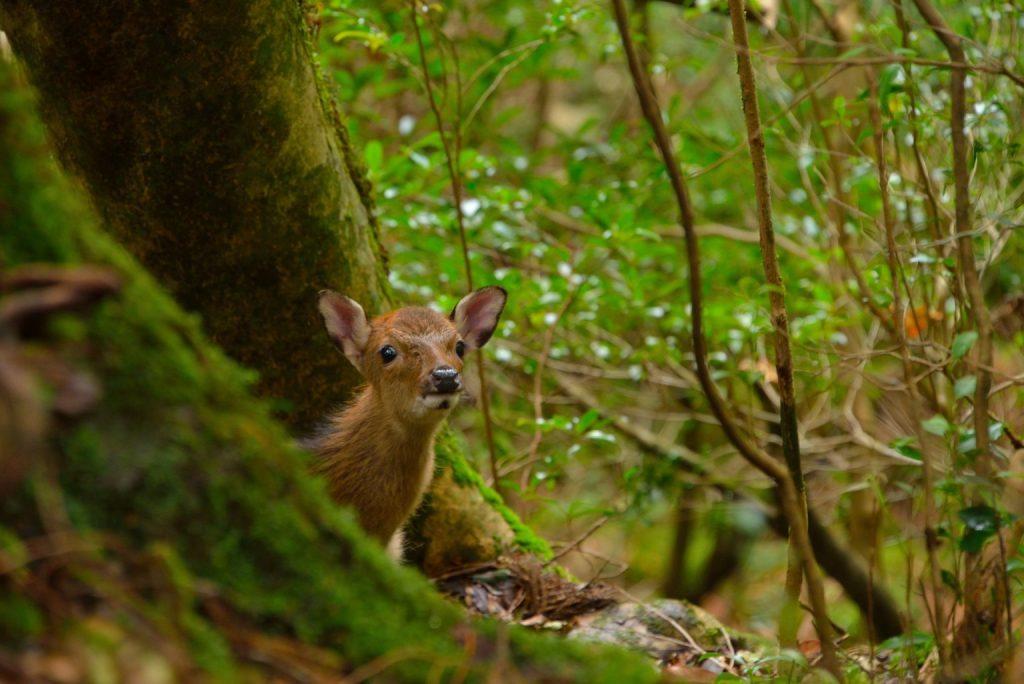 夏天就到屋久島享受神秘大自然!一窺世界遺產精選景點 6