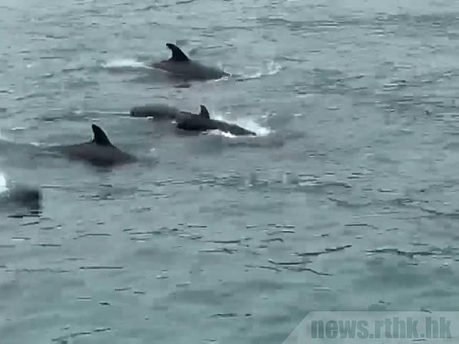 有網上影片拍攝到大批偽虎鯨下午在維港水域暢泳。