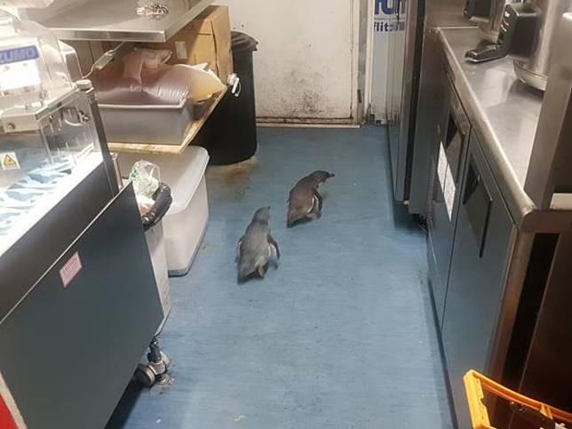 企鵝二度擅闖壽司店築巢溫存遭「逮捕歸案」
