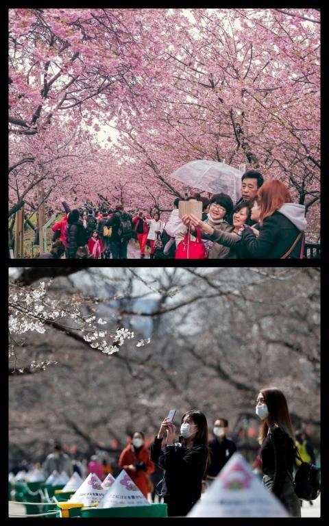 Foto Melihat Mekarnya Bunga Sakura Di Tengah Wabah Virus Corona