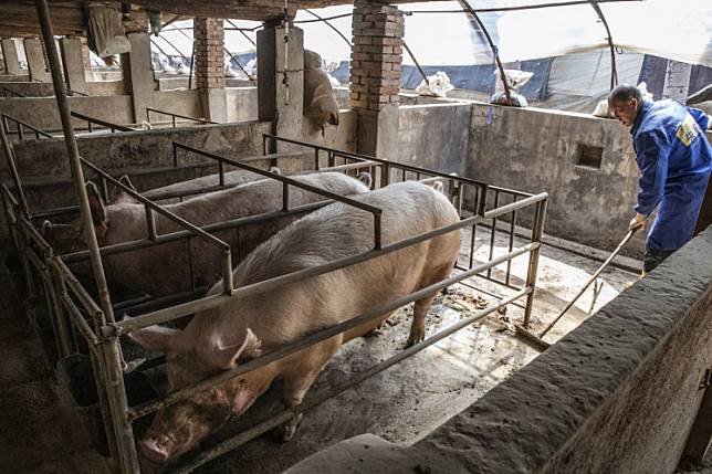 The strain of African swine fever spreading in Asia is undeniably nasty, killing virtually every pig it infects by a hemorrhagic illness reminiscent of Ebola in humans. It's not known to sicken people, however.