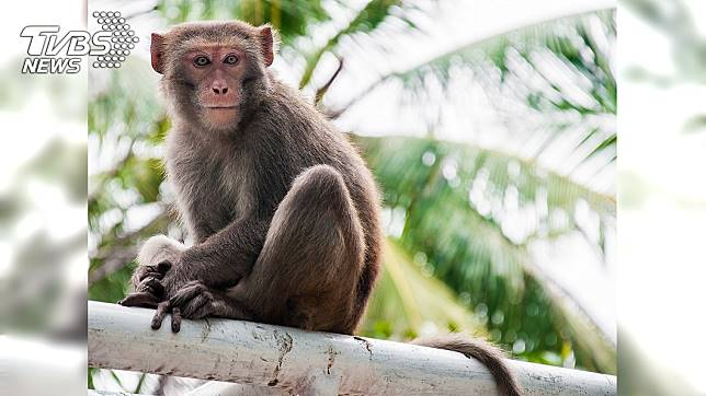 印度男嬰喝奶時遭猴擄走。示意圖/TVBS