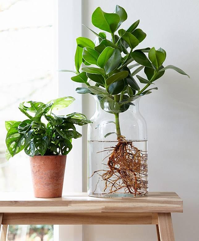 切記不要在東南位放置水種植物。(互聯網)