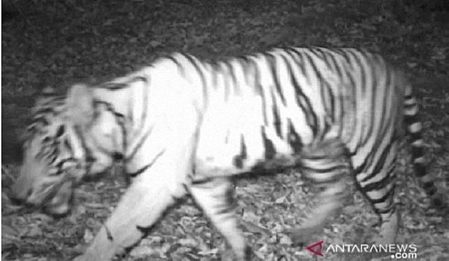 Tangkapan gambar dari harimau sumatera yang terancam punah di kawasan hutan produksi Angkola Selatan, Tapanuli Selatan, Sumatera Utara, Januari-Maret 2020. (Dokumentasi KLHK)
