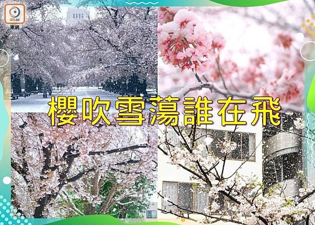 日本又迎來了一年一度的櫻花季,3月29日卻下了一場大雪,令剛盛開的櫻花染上了白色。(設計圖片)