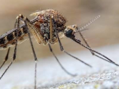 Apa Jadinya Jika Nyamuk Punah dari Bumi?
