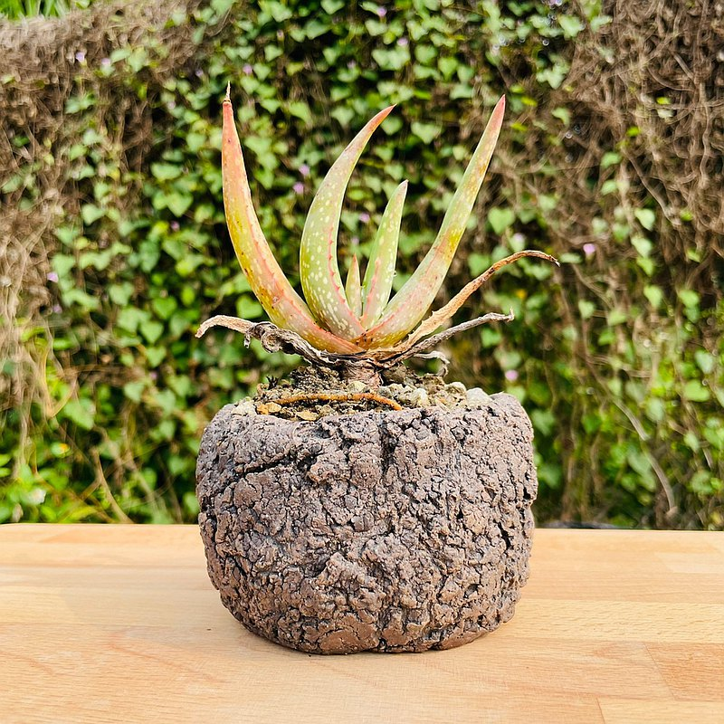Rainxpluie 知雨若泥 多肉植物•蘆薈•Aloe microstigma