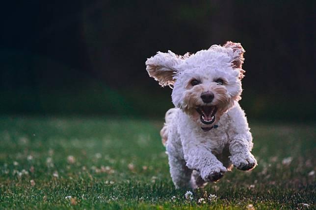 ▲美國加州大學的研究團隊藉著鎖定 DNA 的變化來定錨,揭示了一個換算狗狗壽命與人類歲數的全新計算公式。(示意圖/翻攝自 Unsplash )