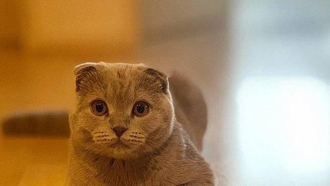 Mengenal Lebih Dekat Scottish Fold Kucing Lucu Dan Menggemaskan Yang Telinganya Terlipat Ke Depan Tribun Travel Line Today