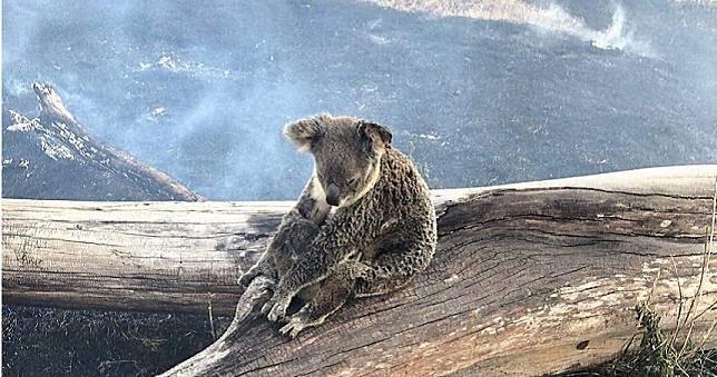 偉大母愛!無尾熊抱兒「以身擋火」 即將康復重返家園