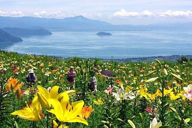 園區於夏日會盛放約250萬朵的百合花,畫面超級震撼。(互聯網)