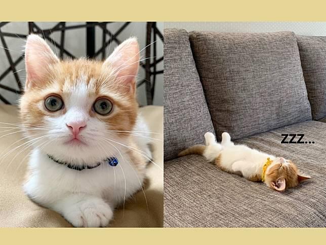 小萌貓喜歡仰躺露肚睡搞搞 網笑:粉嫩肉球太犯規!