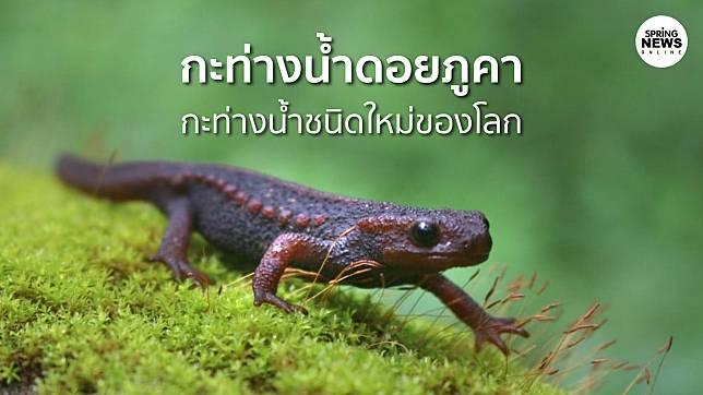 กะท่างน้ำ ดอยภูคา สัตว์ชนิดใหม่ของโลกค้นพบโดยนักวิจัยไทยในจังหวัดน่าน