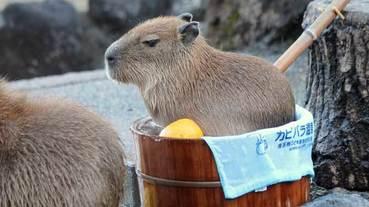 盤點日本各地水豚動物園精選!邀請你進入溫泉、柚子、水豚的軟萌世界