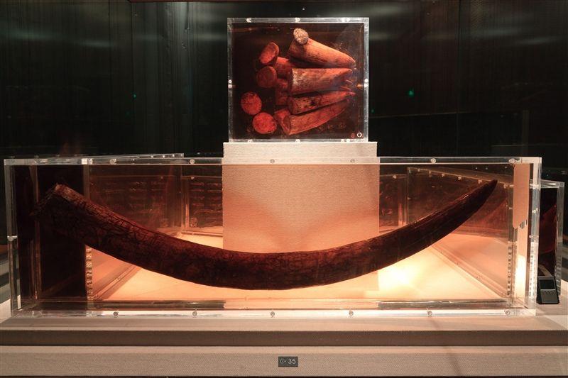 象牙是古蜀人祭神的重要物品。(圖片來源:欣傳媒)