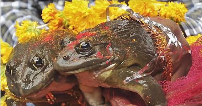 印度習俗為求雨讓青蛙結親 暴雨不斷讓青蛙夫婦被「強迫離婚」