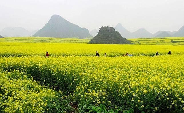 位於雲南境內的羅平縣,每到年初幾個月間,滿山遍地都長滿油菜花。(互聯網)