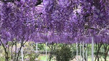2020只開園一次、期間限定兩週快把握!全台最大「淡水紫藤花咖啡園」開放啦!柔薰浪漫紫色秘境太夢幻,票價、攜寵攻略一次看