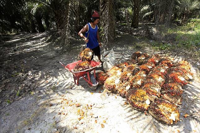A worker moves bunches of oil palm fruit at a plantation in Pangkalan Bun, Central Kalimantan.