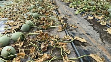 【絕不原諒】用除草劑令六間溫室的蜜瓜枯萎